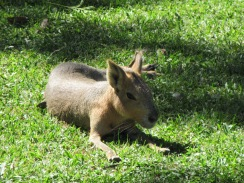 One of dozens of Patagonian Maras hanging out all over the zoo